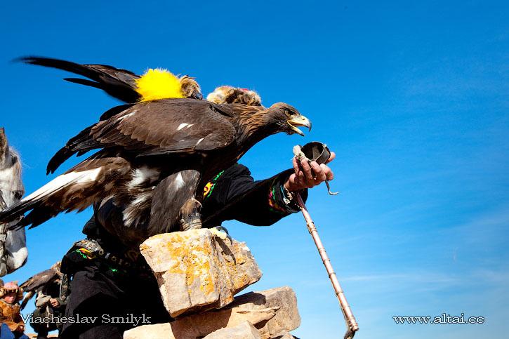Охотник оставляет свою птицу у своего помощника, который по команде выпускает его