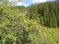 Зеленый барбарис