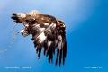 Размах крыльев взрослого беркута- около двух метров