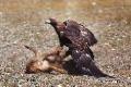Чтобы расправиться с лисой, беркуту достаточно несколько секунд. Ударом клюва птица способна пробить ей череп