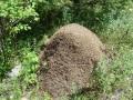 Такие муравейники здесь не редкость