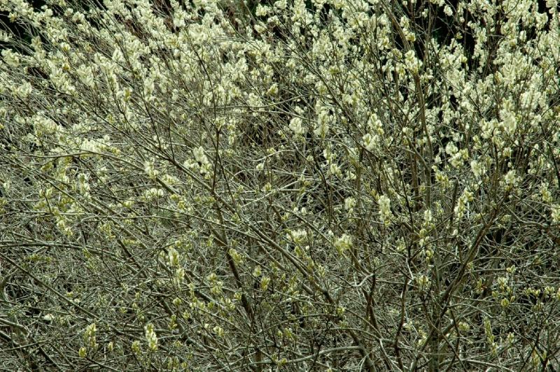 Казахская сакура